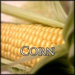 Uncooked golden ear of corn